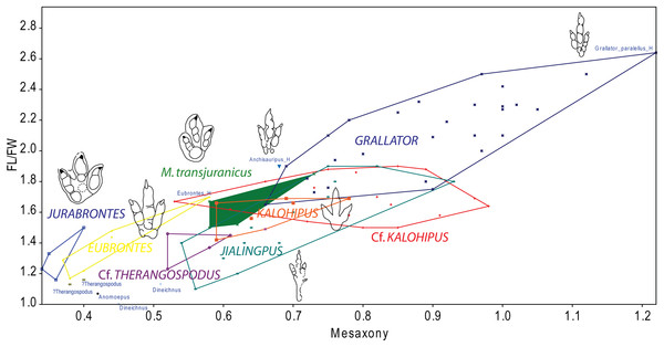 Bivariate graph plotting the footprint length/footprint width ratio against Mesaxony of the studied tracks (gracile and robust morphotype) with some of the main dinosaur tridactyl ichnotaxa mentioned in the text.
