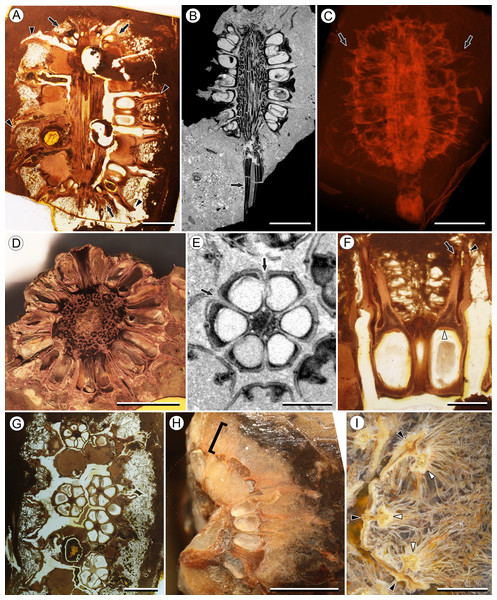 Infructescence and fruit structure of Viracarpon hexaspermum Sahni emend. Matsunaga, S.Y. Smith, & Manchester.