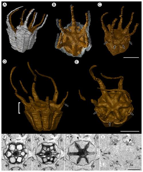Fruit morphology of Viracarpon hexaspermum Sahni emend. Matsunaga, S.Y. Smith, & Manchester.