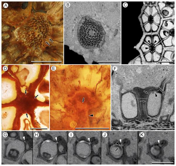 Vasculature of Viracarpon hexaspermum Sahni emend. Matsunaga, S.Y. Smith, & Manchester.