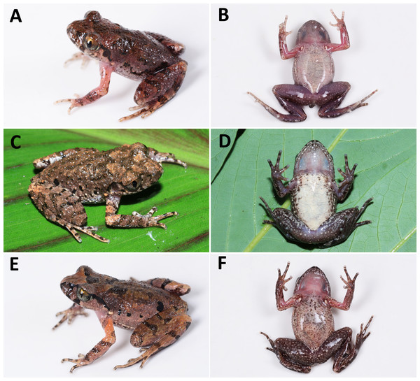 Comparisons of dorsal and ventral color patterns in life of three sympatric Leptolalax species.