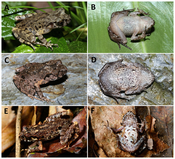Photos of other three Leptolalax species from China.