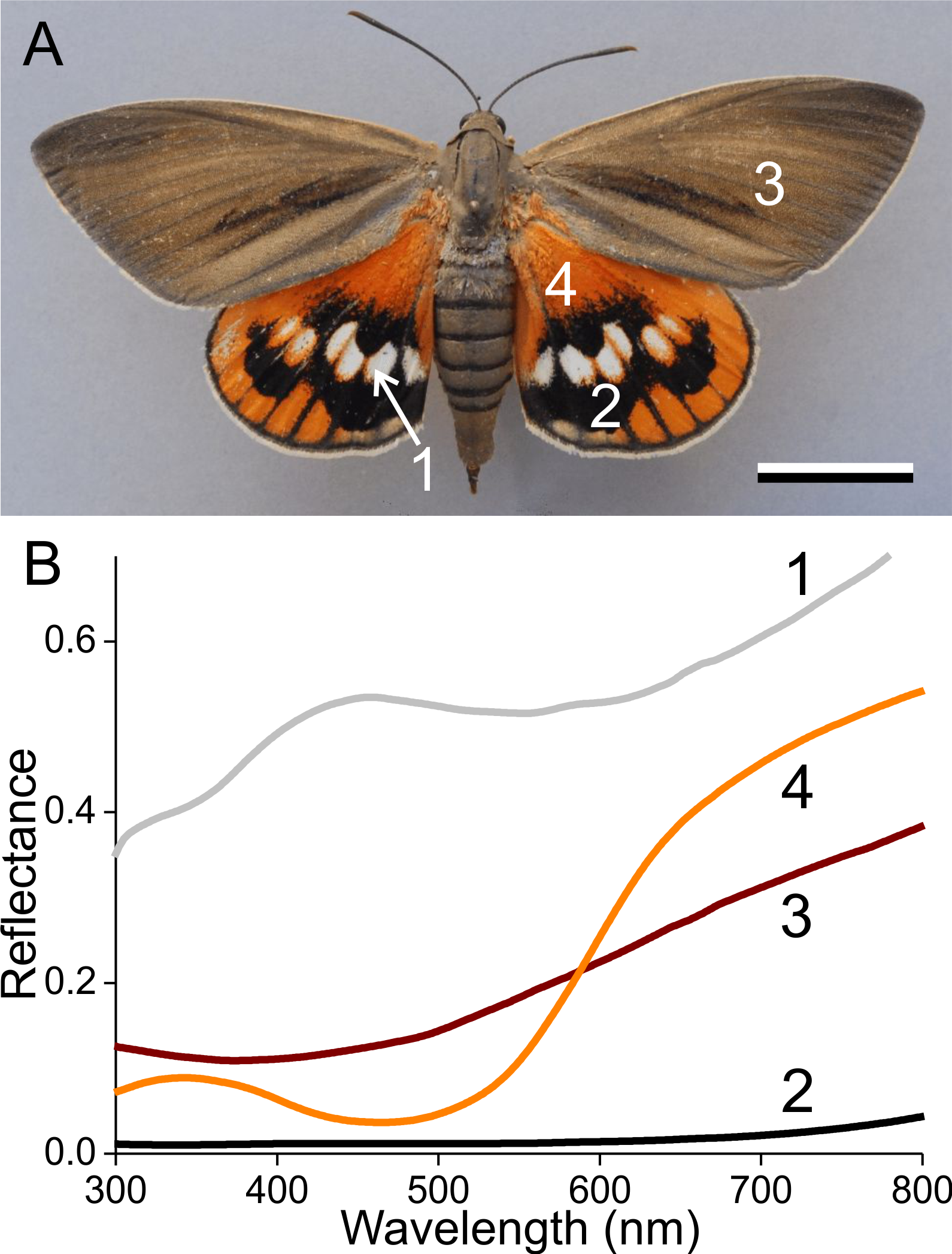 Classical lepidopteran wing scale colouration in the giant butterfly ...