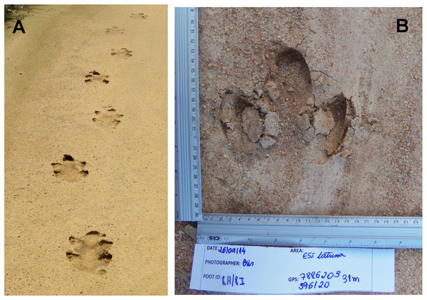 Lowland tapir trail and footprint.