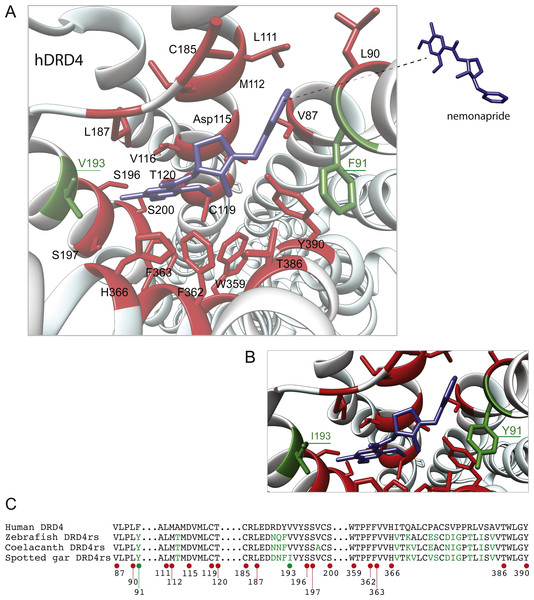 Structural details of human DRD4 binding site to the antipsychotic drug nemonapride (in blue) based on the molecular file PDB ID: 5WIV (Wang et al., 2017).