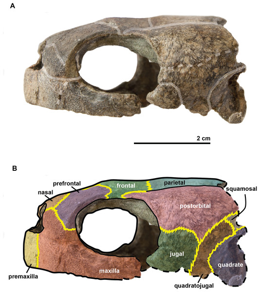 Skull of the holotype (UJF-ID.11167) of Rhinochelys amaberti in lateral view showing the left side.