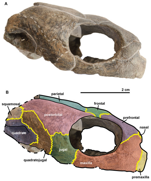 Skull of the holotype (UJF-ID.11167) of Rhinochelys amaberti in lateral view showing the right side.