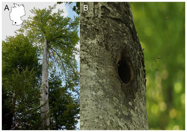 Bee trees in the Swabian Alb.