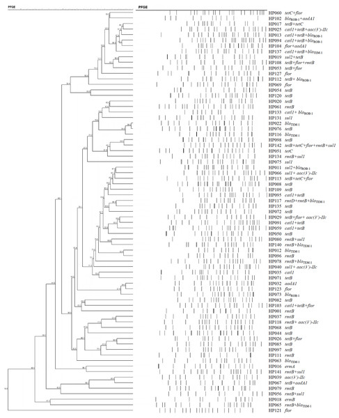 Dendrogram of patterns generated by PFGE of 73 ARG-containing H. parasuis isolates