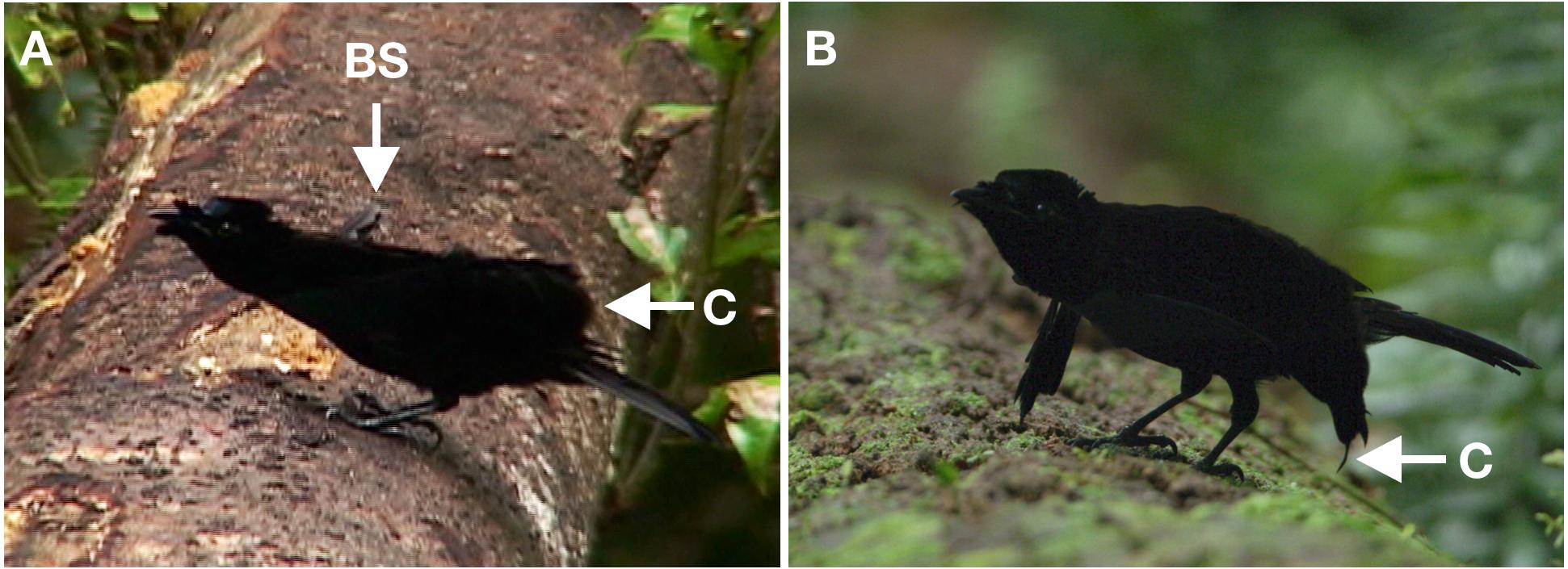 Distinctive courtship phenotype of the Vogelkop Superb Bird-of