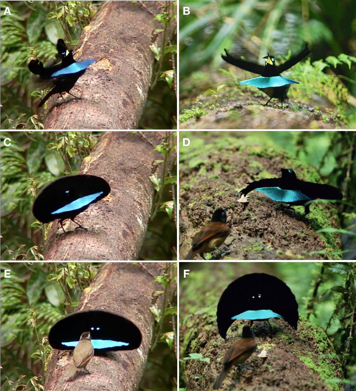 Distinctive Courtship Phenotype Of The Vogelkop Superb Bird Of