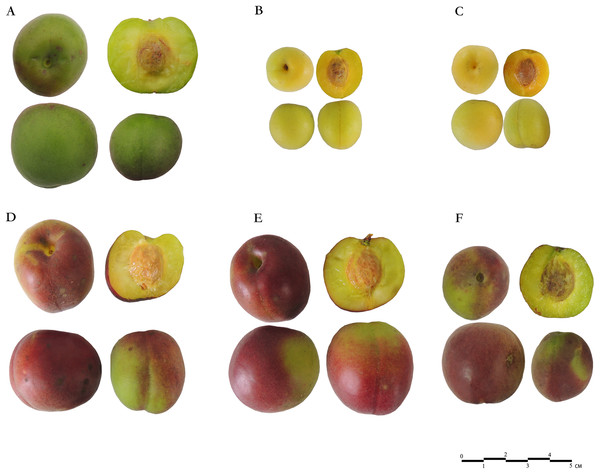 Fruits of six Japanese apricot cultivars used in this study.