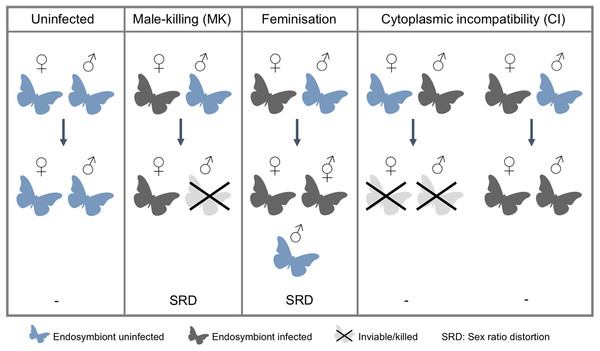 Endosymbiont-induced manipulation of Lepidoptera reproduction.