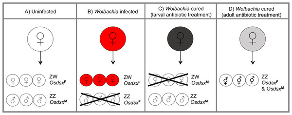 Wolbachia-induced male-killing and interference of sex determination in Ostrinia scapulalis moths.