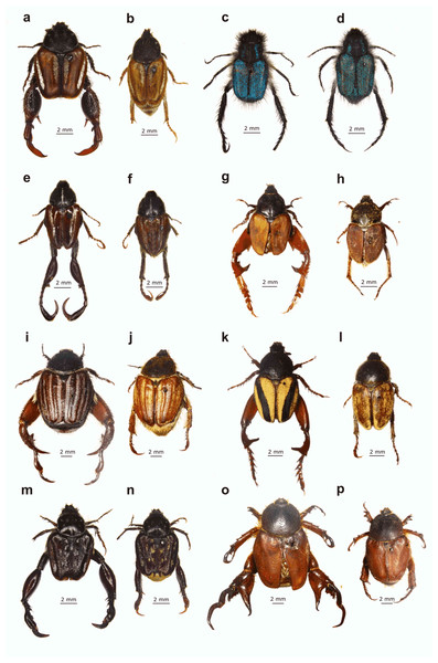 Examples of dimorphic South African monkey beetles showing diversity in body and hind leg shape and form, and colour pattern.