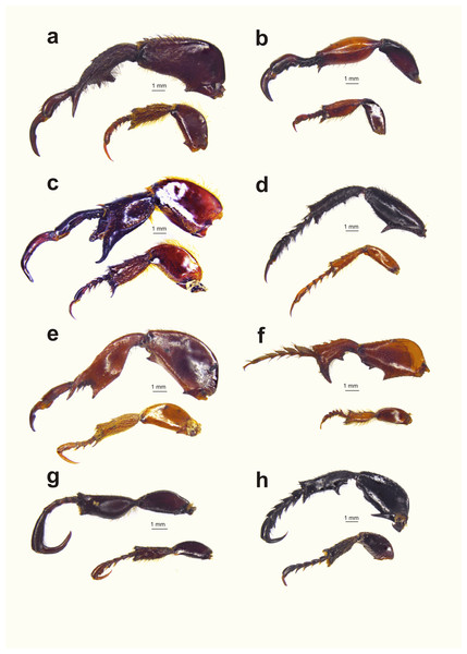 Diversity of male hind leg traits and weaponry for eight embedding monkey beetle species.