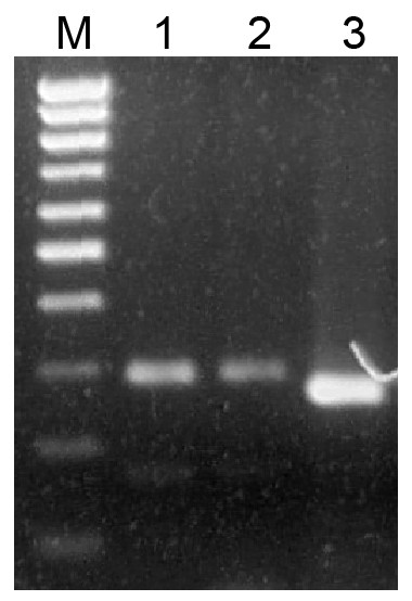 Analysis of PCR products in 1.5% agarose gel.
