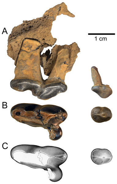 Holotype of Gulo sudorus (ETMNH 3663) from the Gray Fossil Site, Tennessee.
