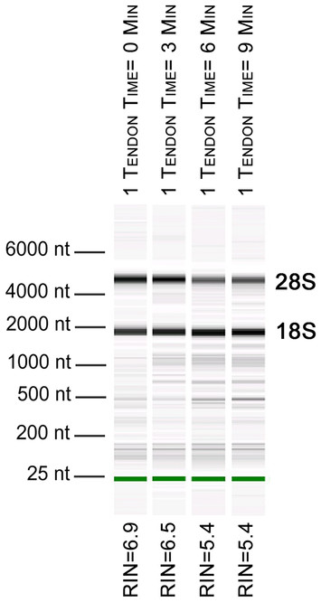 A Robust Method For Rna Extraction And Purification From A Single Adult Mouse Tendon Peerj