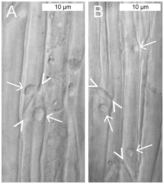 Standard brightfield micrographs of live sieve elements in Populus trichocarpa leaves, showing sieve plates (arrowheads) and non-dispersive P-protein bodies (NPBs; arrows).