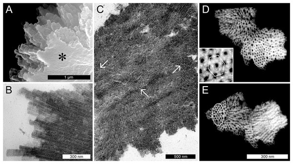 Ultrastructure of non-dispersive P-protein bodies (NPBs) from sieve elements of Populus trichocarpa.