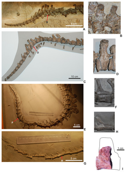 Comparison of thalattosuchian bony tails and the distal caudal vertebrae within the bending zone.