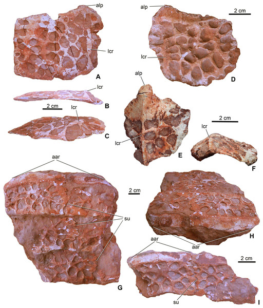 Osteoderms of Magyarosuchus fitosi gen. et sp. nov. from the Toarcian of the Gerecse Mountains, Hungary.