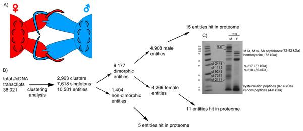 Comparative analysis of Tetragnatha male and female venom gland transcriptomes.