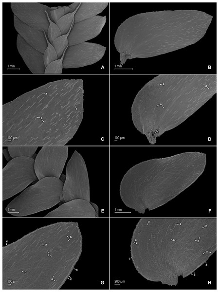 Scanning electron micrographs of branch sections and leaves of S. agioneuma.