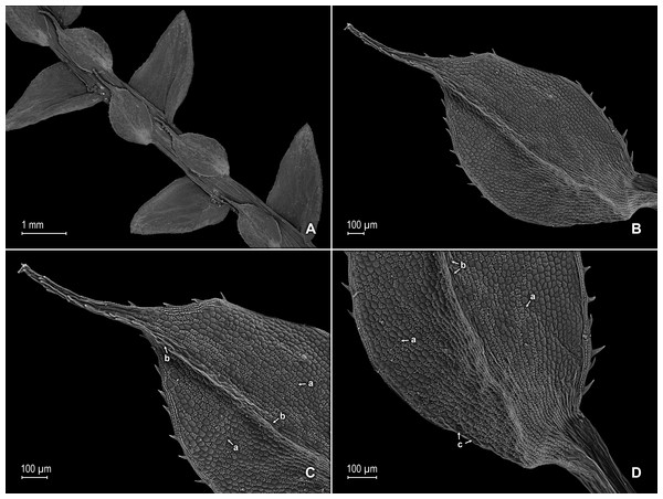 Scanning electron micrographs of branch section and leaves of S. magnafornensis.