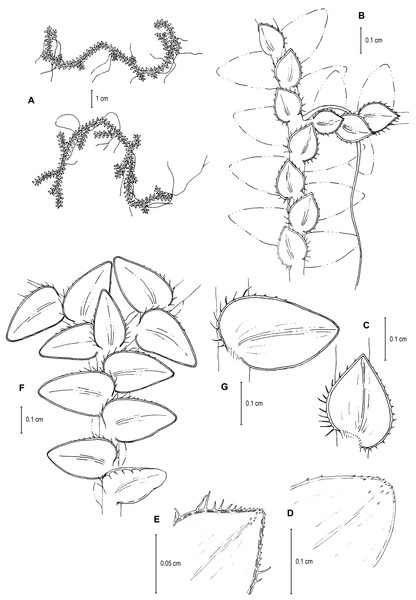 Line drawing of holotype of S. ventricosa.
