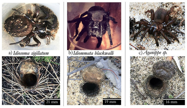 Subject spider species and their burrows.