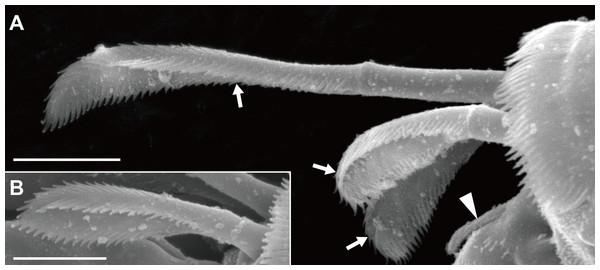 Haimormus shimojiensis gen. et sp. nov., paratype female (NSMT-Cr 26837), SEM images.