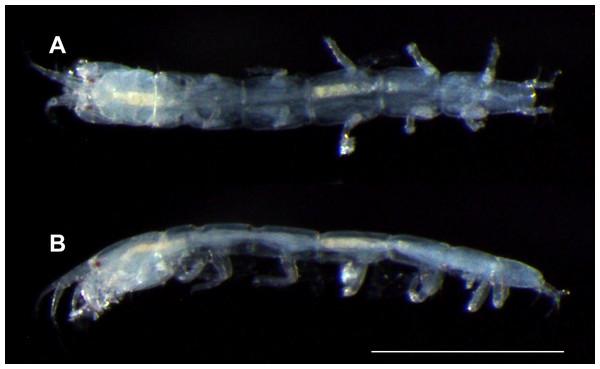 Haimormus shimojiensis gen. et sp. nov., paratype female (RUMF-ZC-6004), fixed specimen.