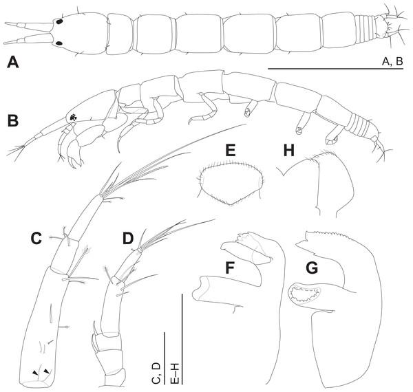 Haimormus shimojiensis gen. et sp. nov., holotype female.