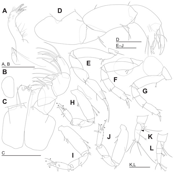 Haimormus shimojiensis gen. et sp. nov. (A–K) holotype female; (L) paratype female (RUMF-ZC-6004).
