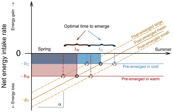 Schematic presentation of mechanistic model predicting the optimum emergence date for bee individuals with different body condition and under different overwintering temperatures.