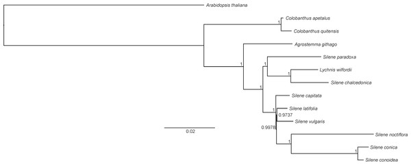 Phylogeny of Colobanthus apetalus and other 11 representatives of Caryophyllaceae based on sequences of sheared 76 protein-coding genes using maximum likelihood method.