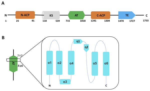 The overall Pks13 domain structure has the order ACP-KS-AT-ACP-TE.