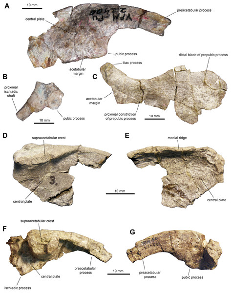 Pelvic elements of Maiasaura peeblesorum perinates (YPM-PU 22400).