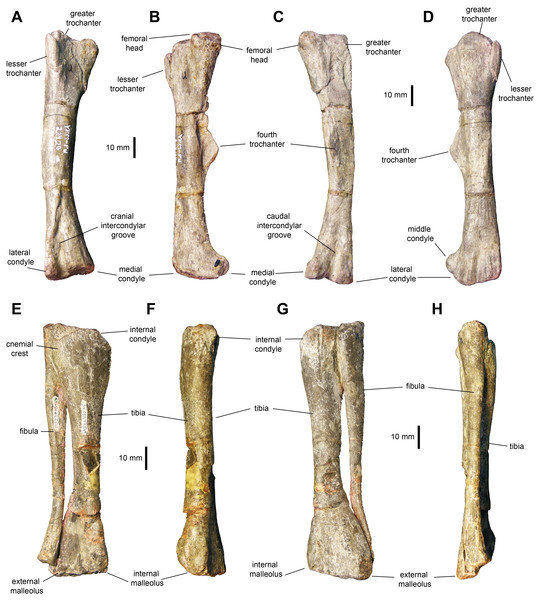 Hindlimb elements of Maiasaurapeeblesorum perinates (YPM-PU 22400).