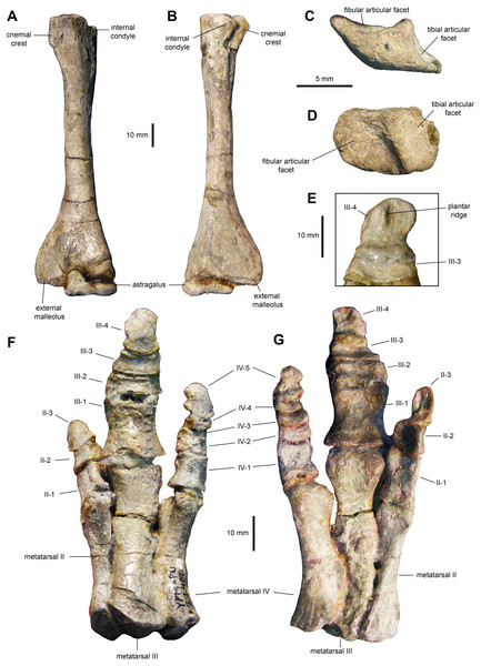 Hindlimb elements of Maiasaura peeblesorum perinates (YPM-PU 22400).