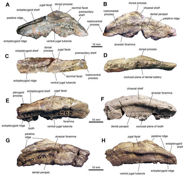 Maxillae of perinatal Maiasaura peeblesorum (YPM-PU 22400).