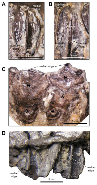 Dentition of Maiasaura peeblesorum perinatal specimens (YPM-PU 22400).