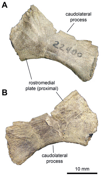 Axial element of Maiasaura peeblesorum perinates (YPM-PU 22400).