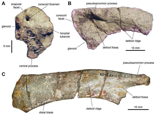 Pectoral girdle of Maiasaura peeblesorum perinates (YPM-PU 22400).