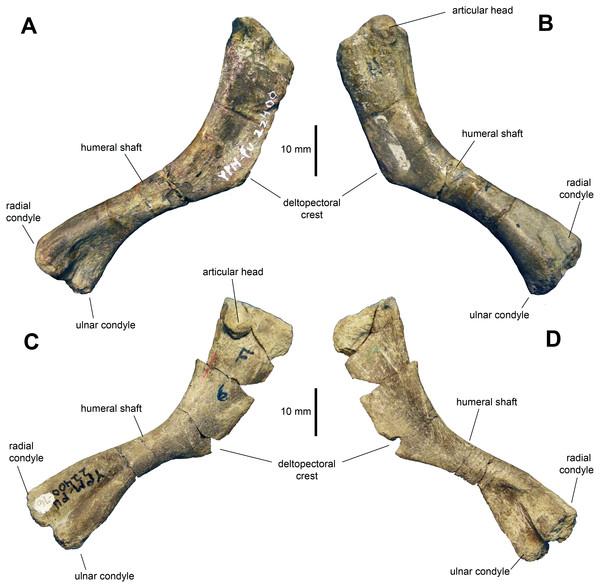 Humeri of Maiasaura peeblesorum perinates (YPM-PU 22400).