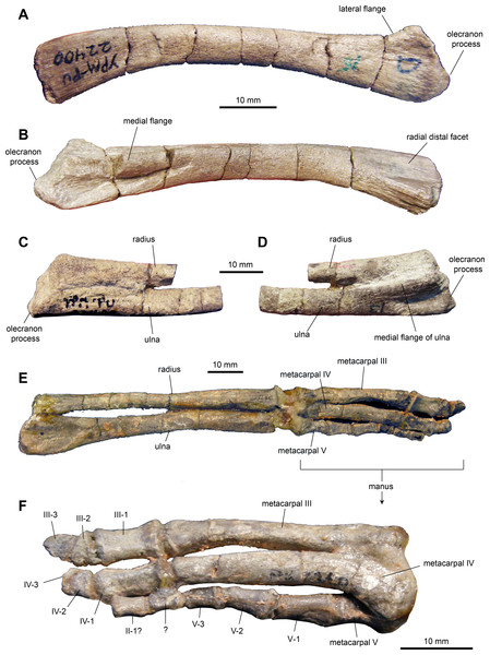 Forelimb elements of Maiasaura peeblesorum perinates (YPM-PU 22400).