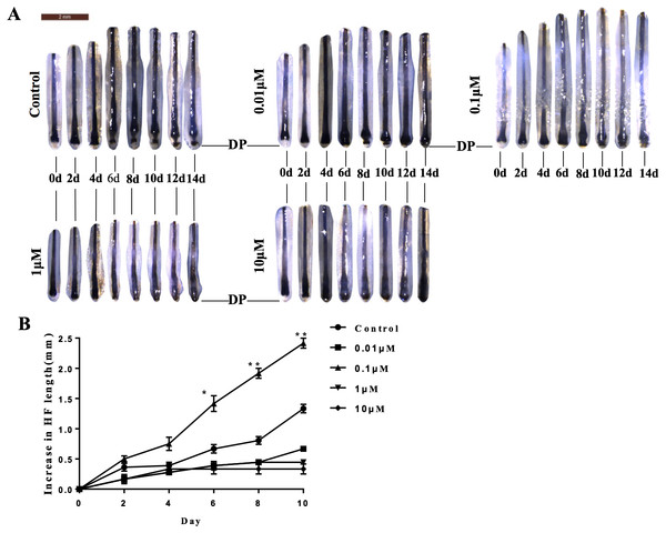 VB-1 promotes the elongation of hair shafts in cultured hair follicles.