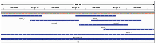 Repetitive regions contained in the arp gene in T. pallidum, de novo identified by DACCOR with a k-mer size of 17 and no mismatches.